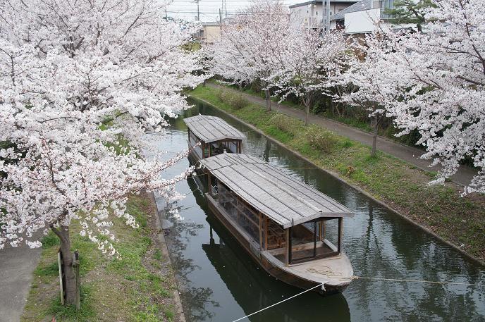 酒蔵を背景に咲く桜は素敵♪