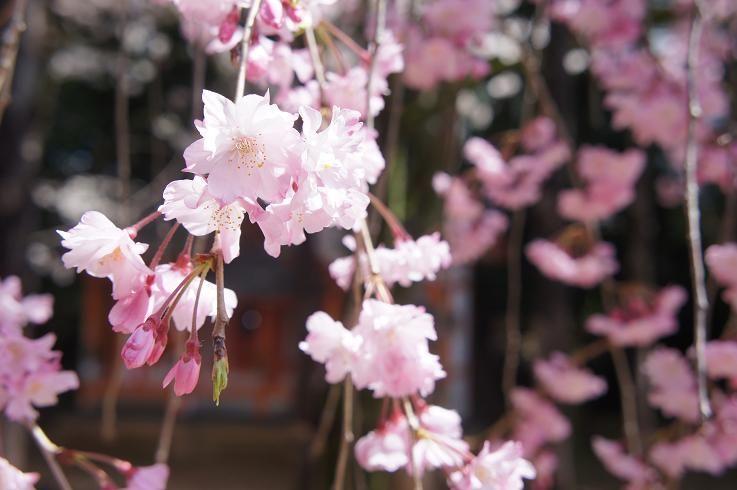 御香宮神社の美しい垂れ桜