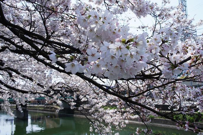 琵琶湖疏水沿いの桜並木はとてもきれい!