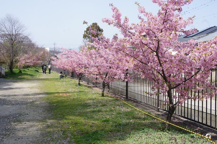 町おこしとして河津桜並木ができました!