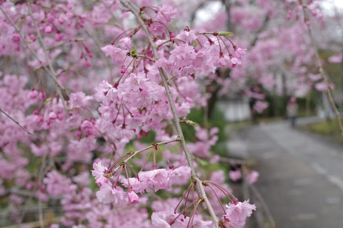 紅葉で有名な真如堂は桜も美しい♪