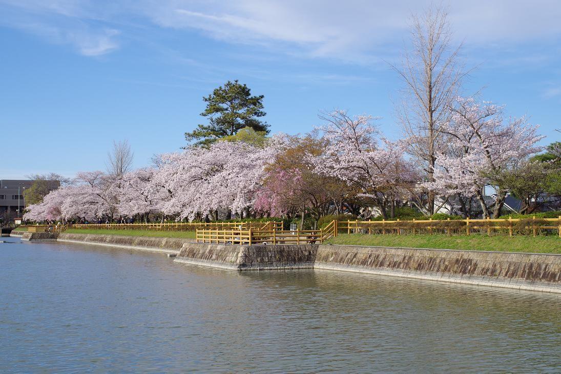 池の周りには美しい桜並木!長岡天満宮