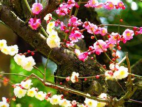 梅の名所へ!全国の観梅・梅まつり絶景スポット25選【2021】