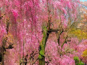 京都・二条城の見どころは梅に桜!夕暮れからは夜桜観光