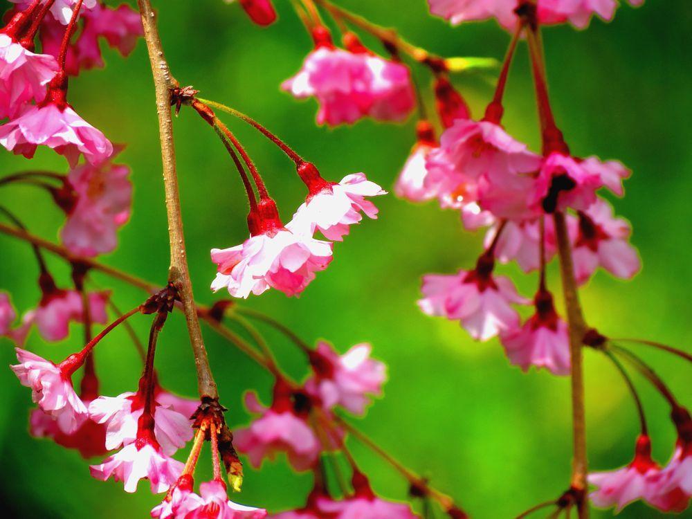 昭和に植えられた多くの桜