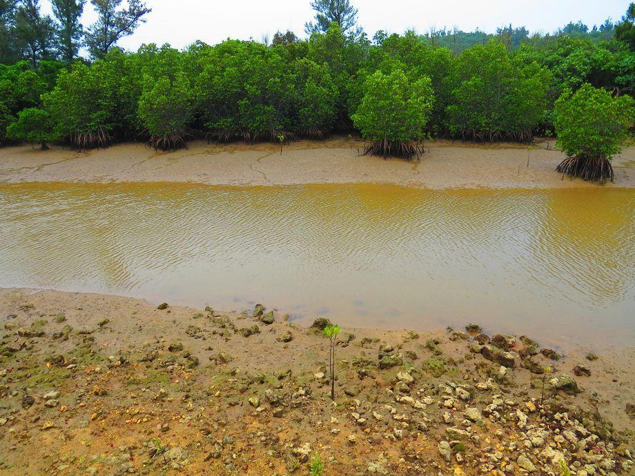 島尻マングローブ林の面白さ