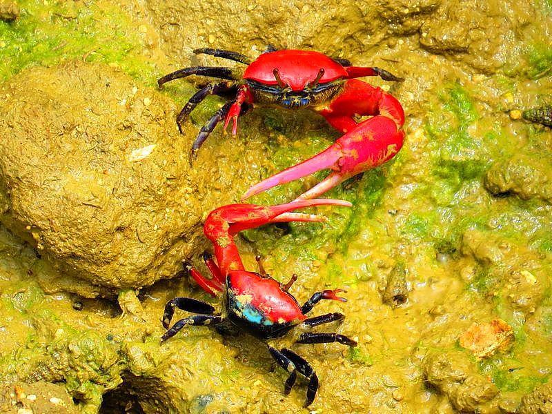 宮古島諸島最大のマングローブ林!島尻でヒルギダマシや赤いカニ観光