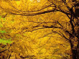 北海道大学はJR札幌駅から近い紅葉名勝地!銀杏並木も美しい