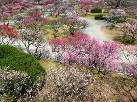 見事な梅の見どころ「福岡城跡」は石垣と紅白の世界