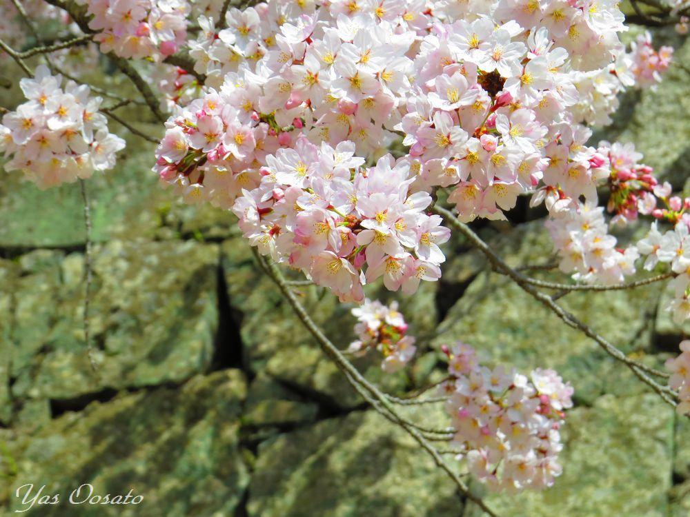 もんげぇきれいな桜の「岡山城」は外国人観光客急増中!