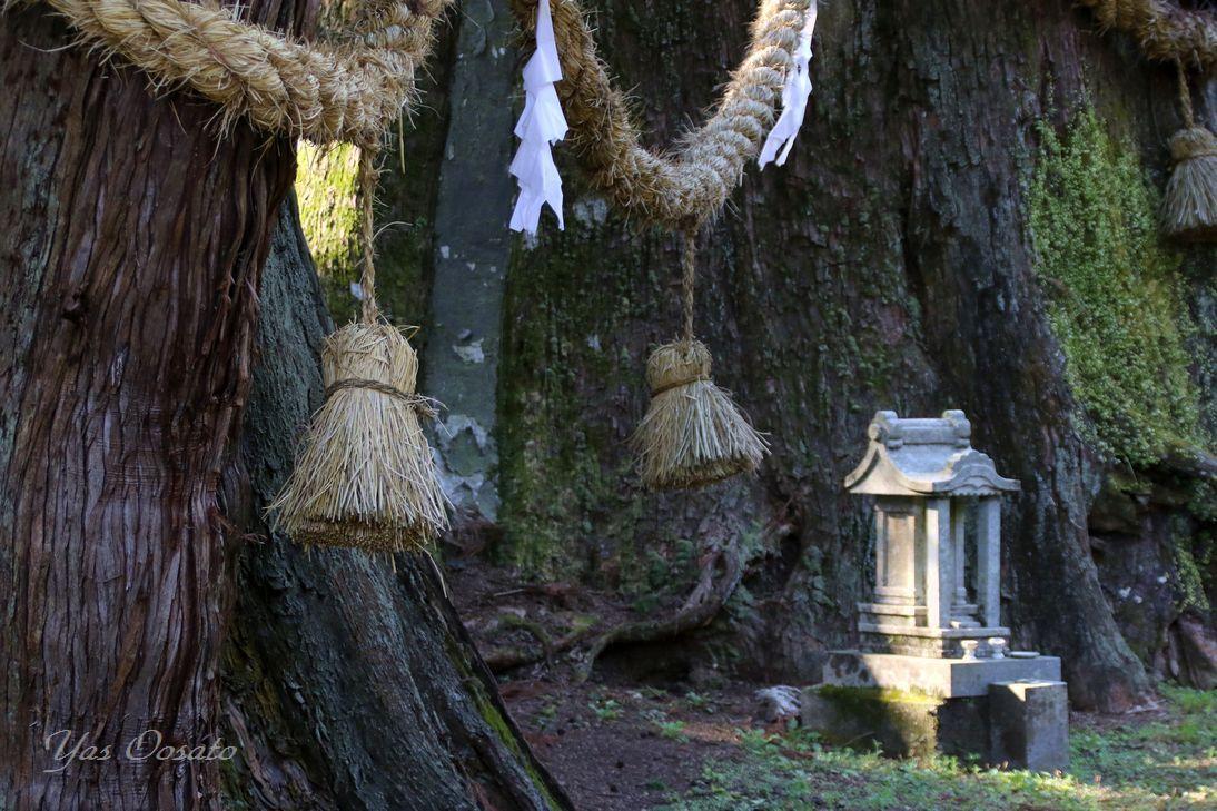 杉の大杉の迫力