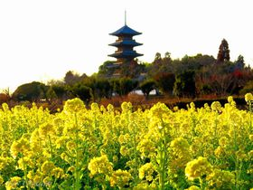 岡山総社観光は備中国分寺で菜の花、夕陽、ライトアップ