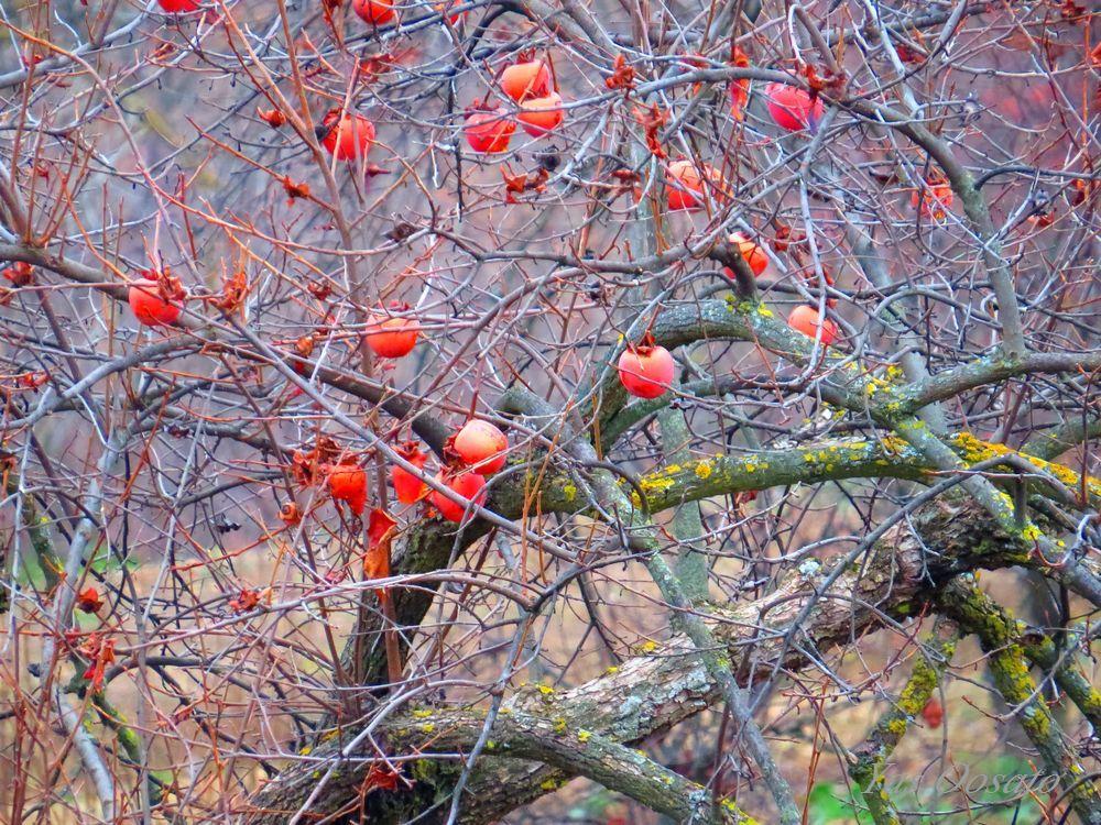 特徴的な糸杉、石畳、そして日本の柿