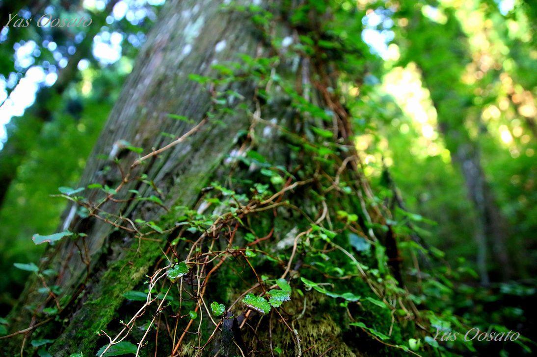 原生林の美しさ