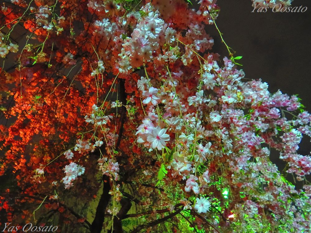 造幣局の桜の歴史