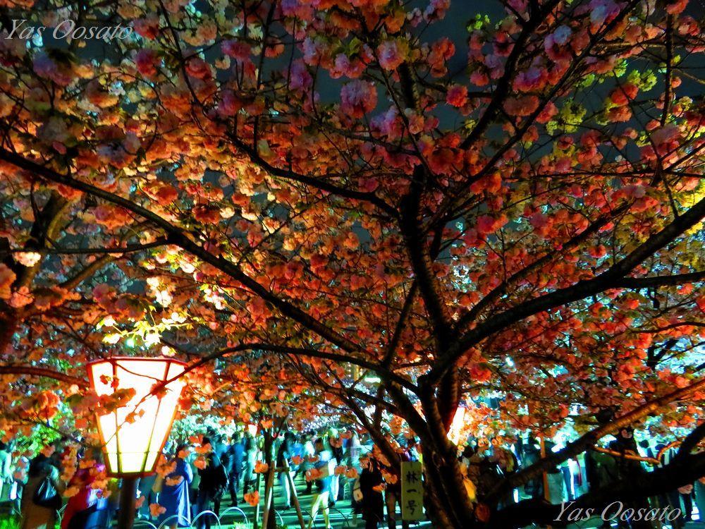 実に多い桜の種類