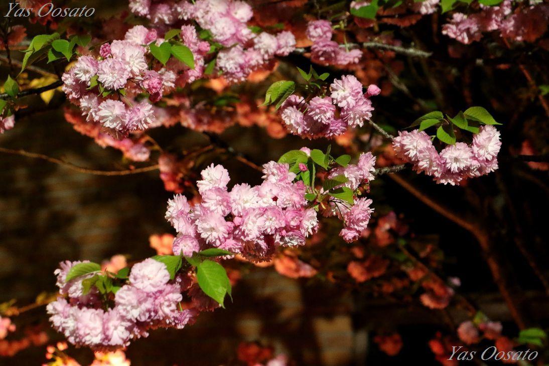 同じ見るなら夜!大阪造幣局・桜の通り抜けと大阪城の光
