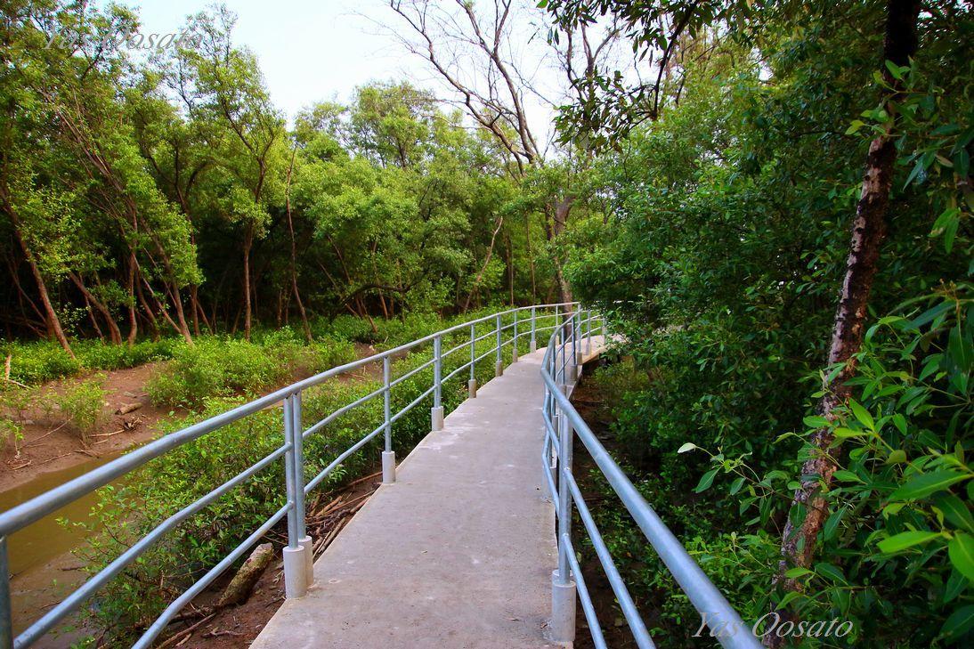 マングローブ林で青く輝くカニ