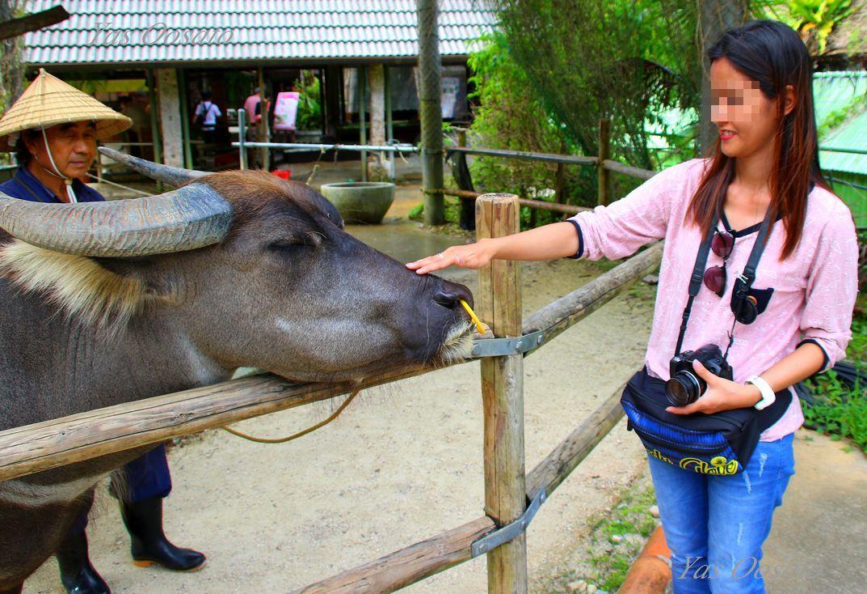 村内散策で水牛と記念撮影