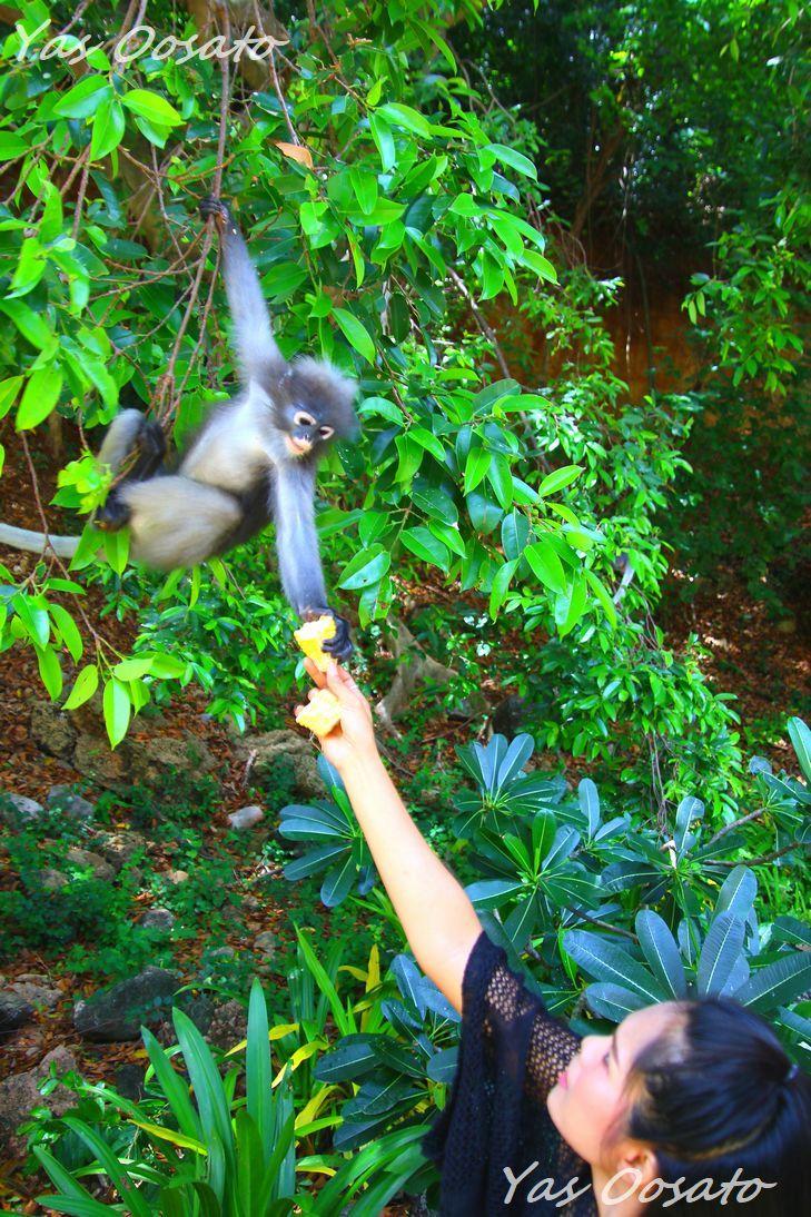 餌を受け取る尾長猿たち