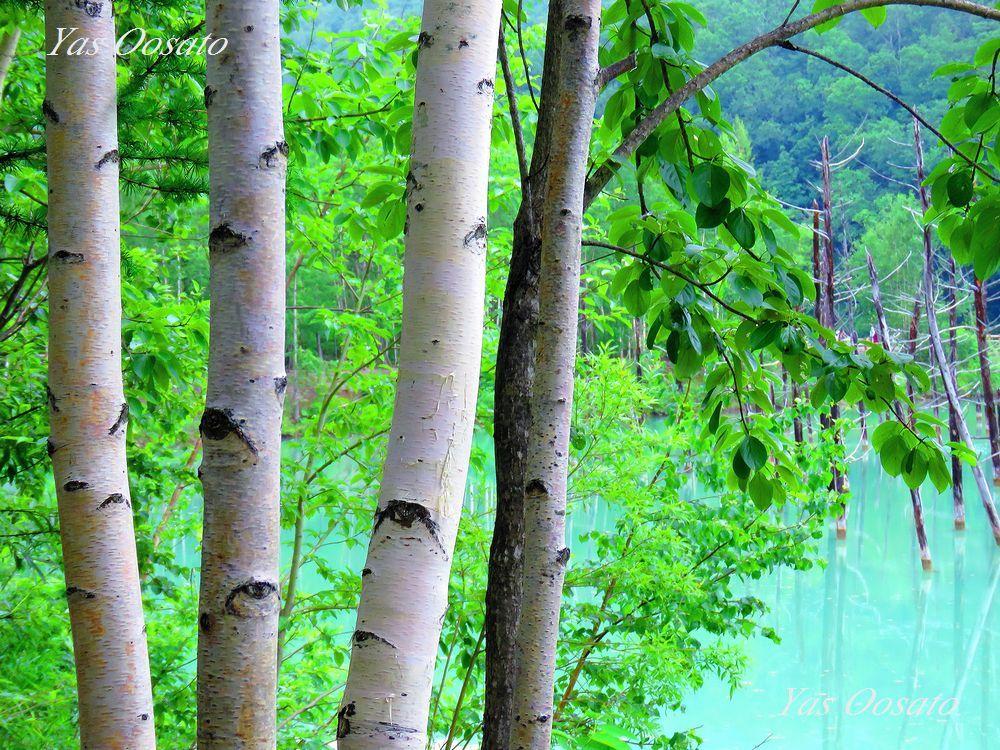 美瑛の神秘「青い池」