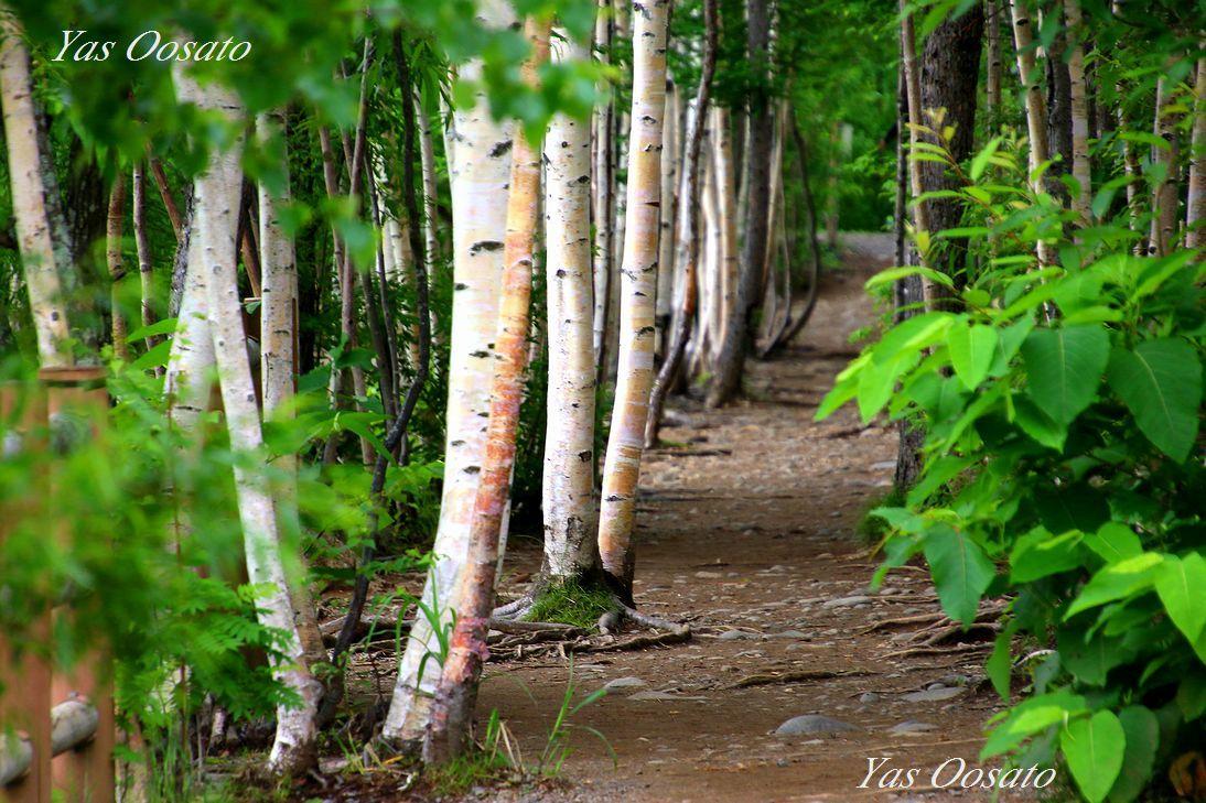 白樺の遊歩道を歩く