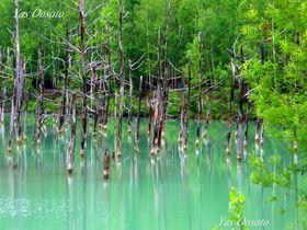 北海道・美瑛観光で神秘の「白金青い池」は必見!