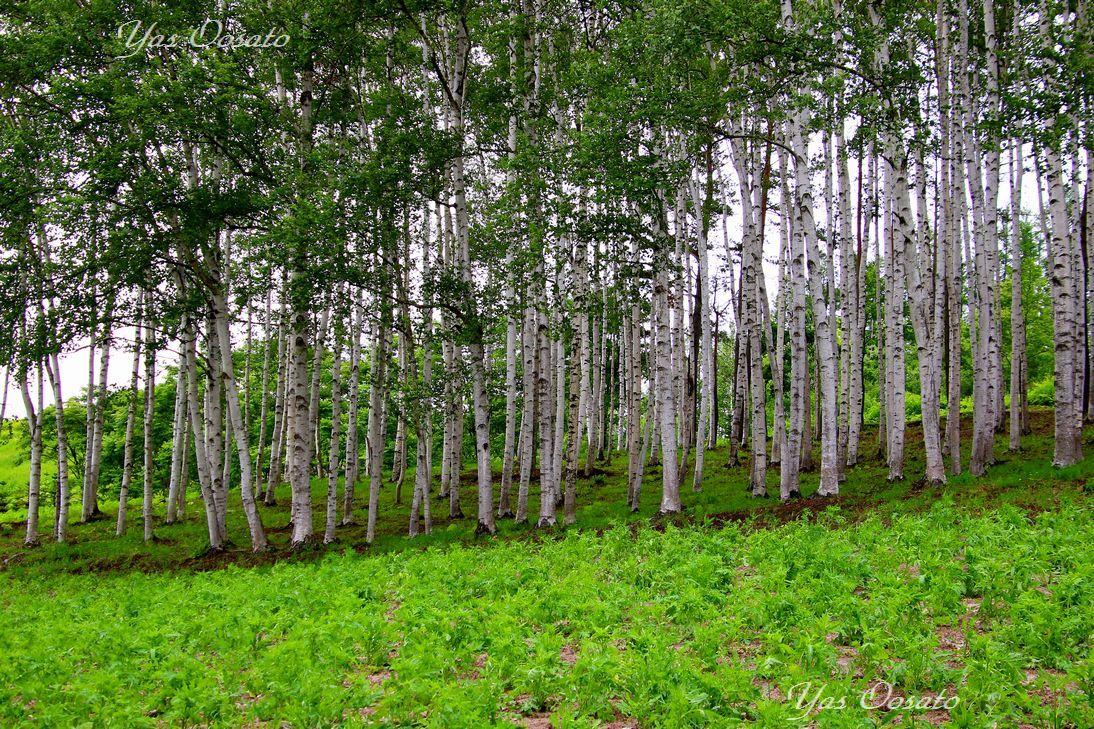 坂道を上がり、白樺林へ