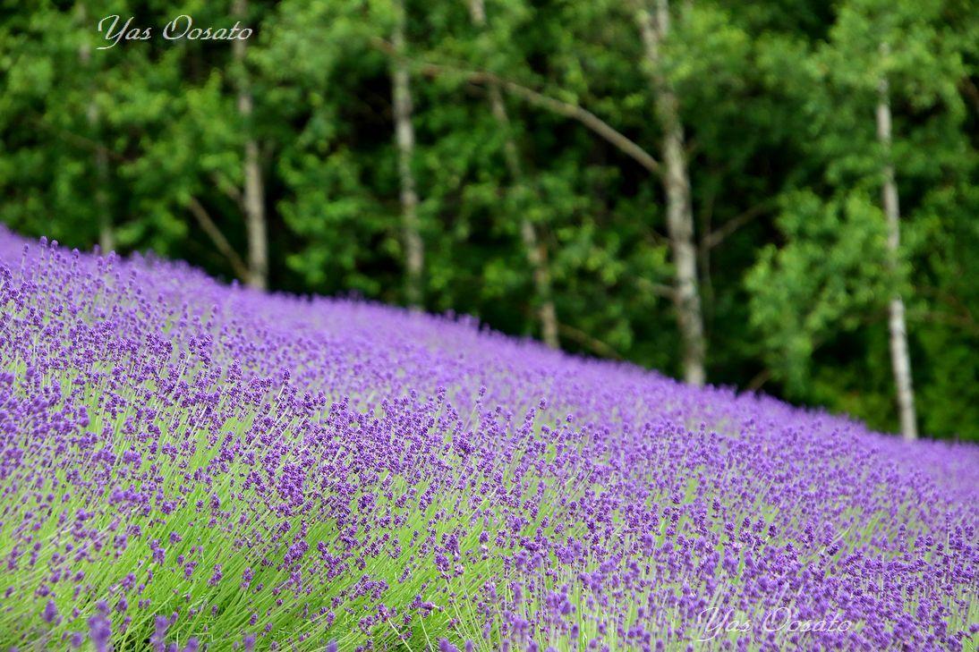 実は二つある富良野ラベンダーのファーム富田!斜面と直線の異なる美しさ