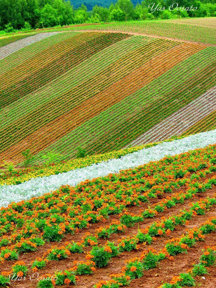 「四季彩の丘」で広がる広大な花畑