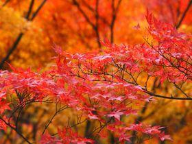岡山観光は紅葉が凄い「柳橋展望広場」と必見の赤橋「宇甘渓」
