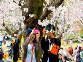春は桜の岡山城と後楽園観光!歴史的見どころと美しい撮影スポット