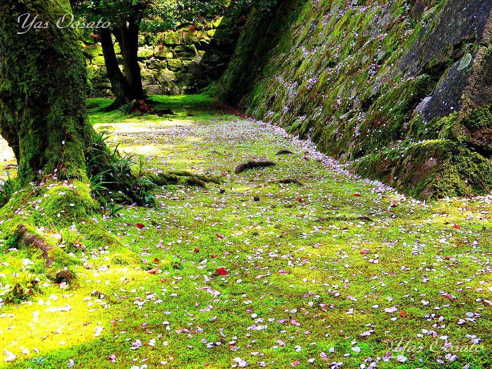 緑の絨毯と散る桜