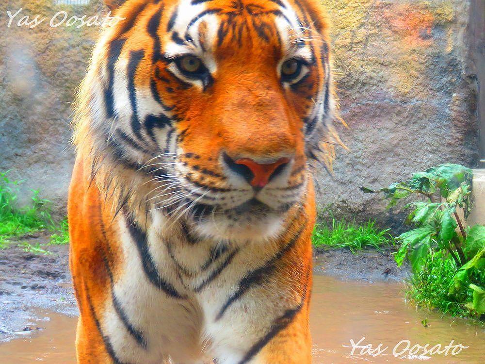 アムールトラに大接近!旭山動物園でフクロウのあくびも楽しもう