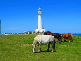 青森県の真っ白な尻屋崎灯台で「寒立馬」と遊ぼう