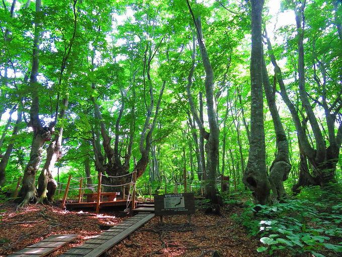 地域最大の奇形木「あがりこ大王」
