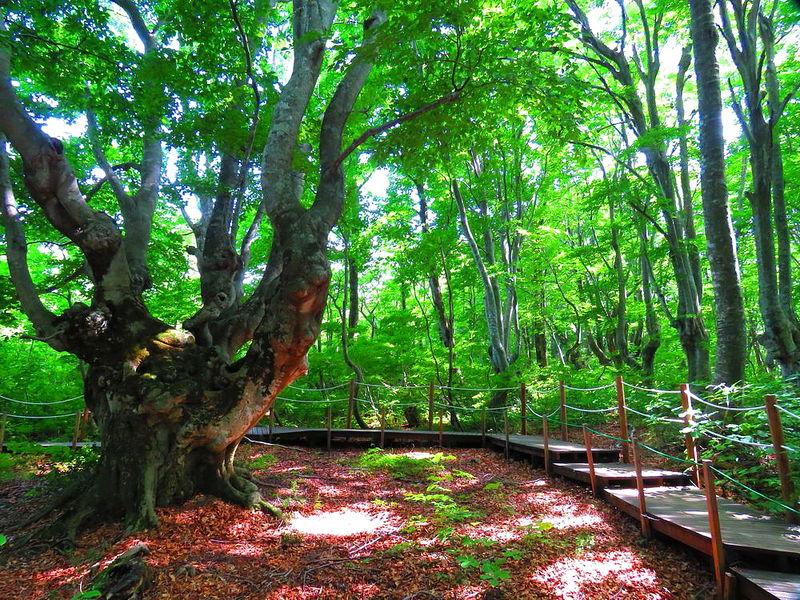 ブナの巨樹「あがりこ大王」も!秋田・中島台レクリエーションの森