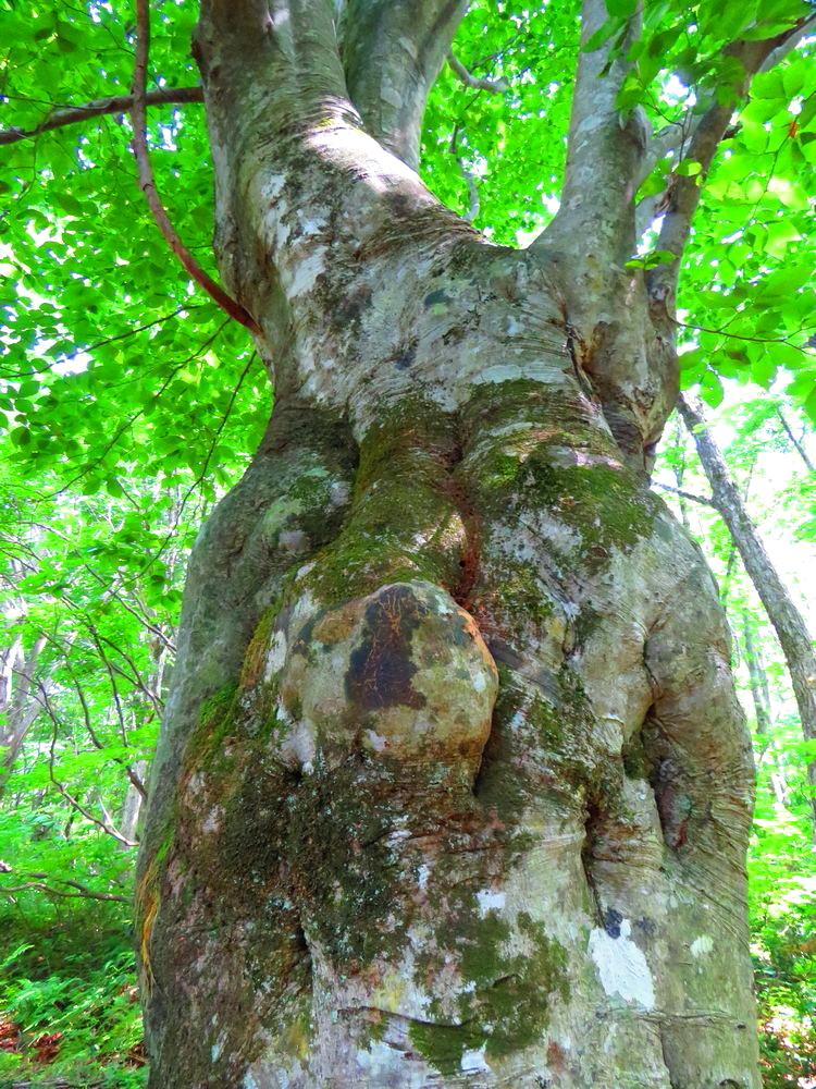 数多いブナの奇形木