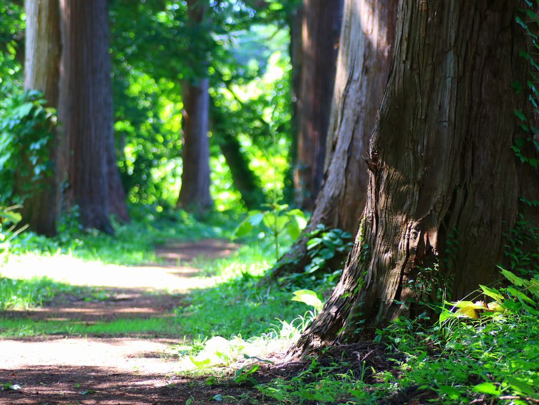あまり知られていない神田川からの見事な杉木立古参道