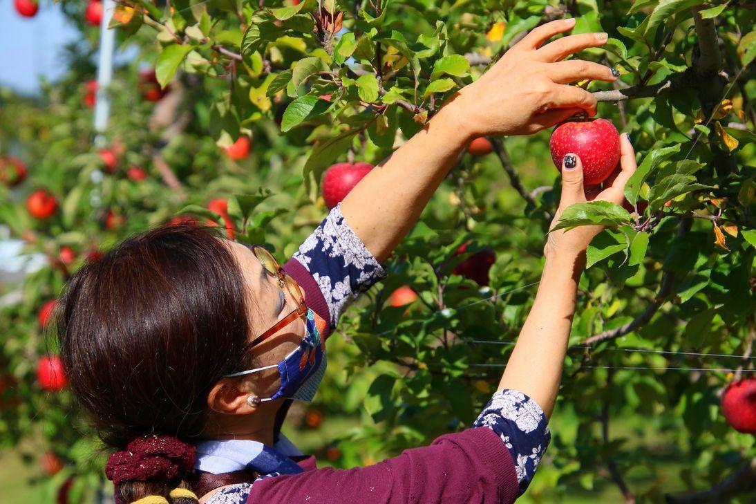 りんご生産量日本一の青森県で収穫体験できる「弘前りんご公園」