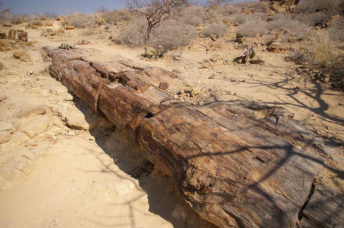 2.8億年前の木が化石に