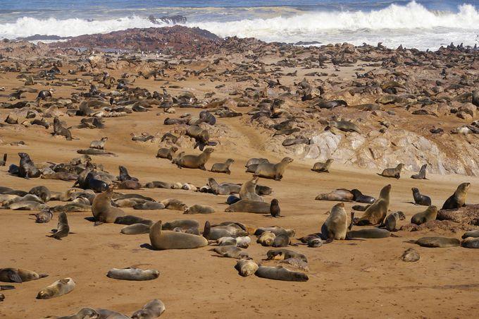 海岸線を覆うオットセイの群れ