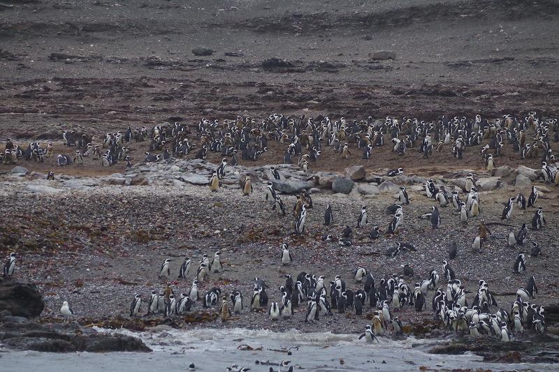 自然のペンギンを見るボートツアー
