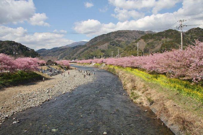 淡いピンクが優しい河津桜のトンネルを歩こう。