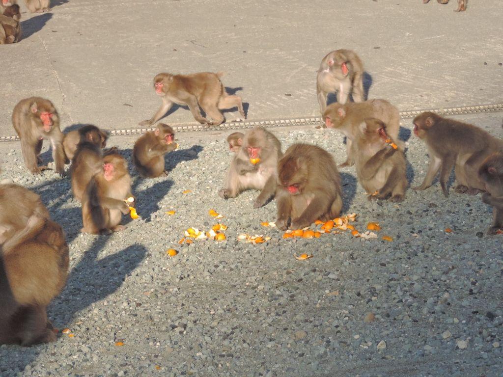 南伊豆の波勝崎苑には300匹の野猿の楽園がある
