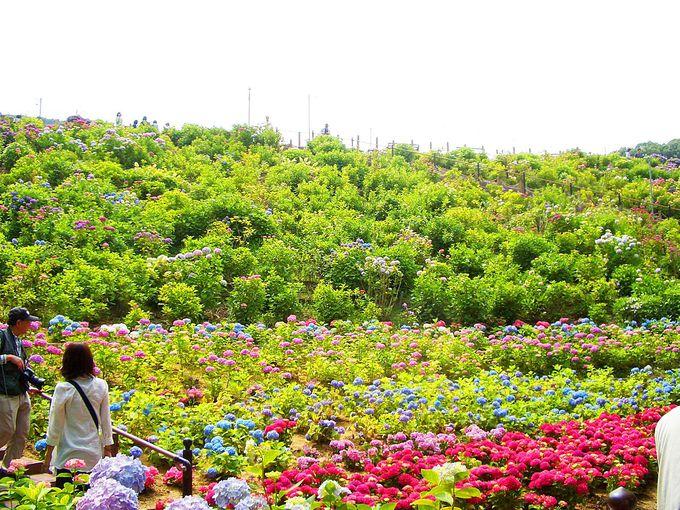 三河湾を望む絶景と咲き乱れる5万株の紫陽花が見事