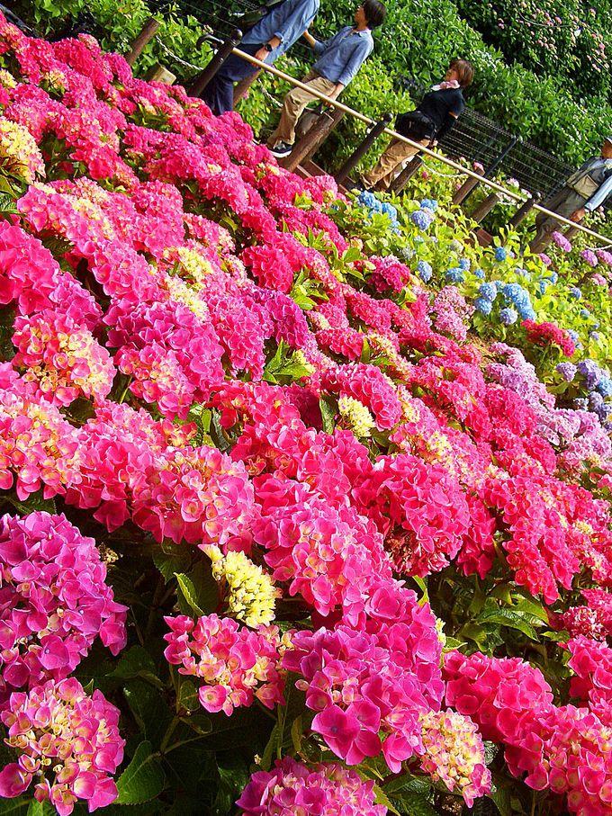 買って家でも楽しめる。お気に入りの紫陽花を探そう!