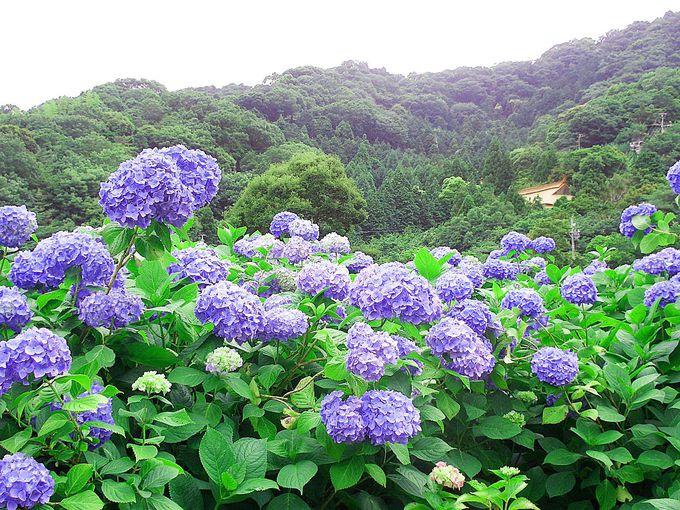 咲き乱れる紫陽花と幻想的な源氏蛍が乱舞する