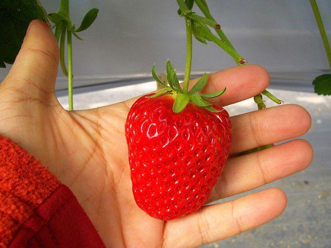 温暖な渥美半島で育んだイチゴは甘酸っぱい春の味がする?