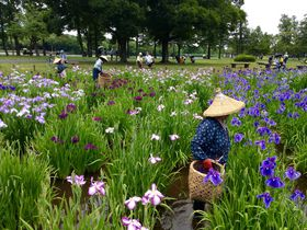 しょうぶ?あやめ?愛犬と楽しく愛でる東京葛飾・水元公園の花菖蒲田